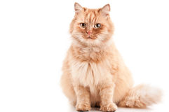 Ginger cat. Isolated on a white background Royalty Free Stock Photo