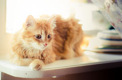 Ginger cat. Beautiful ginger cat sitting on a window on a white background Royalty Free Stock Photos