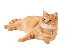 Ginger cat. On a white background Royalty Free Stock Images