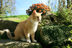 Ginger Cat Images libres de droits