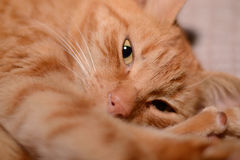 Ginger Cat Photo stock
