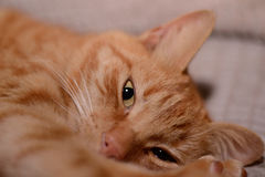 Ginger Cat Photographie stock libre de droits