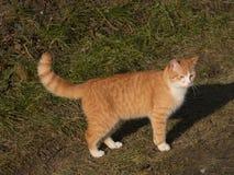 Ginger Cat Images libres de droits