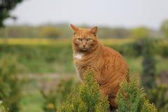 Ginger Cat Royalty-vrije Stock Fotografie