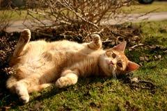 Ginger Cat Imagen de archivo libre de regalías