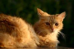 Ginger Cat Imágenes de archivo libres de regalías