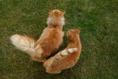 Ginger Cat Imagen de archivo