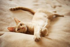 Ginger Cat Immagine Stock Libera da Diritti
