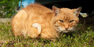 Ginger Cat Lizenzfreie Stockfotografie