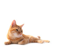 Ginger cat. A young cat focus at something Stock Images