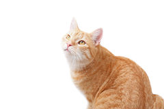 Ginger cat. A young cat focus at something Royalty Free Stock Photo