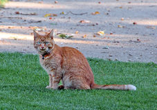 Ginger Cat Photos libres de droits