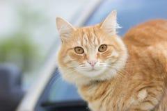 Ginger Cat Fotos de Stock Royalty Free