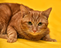 Ginger Cat Immagine Stock