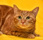 Ginger Cat Fotografia Stock