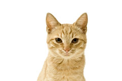 Ginger cat. Isolated on white stock photo