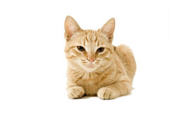 Ginger cat. A lying ginger cat isolated on white royalty free stock photos