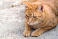 Ginger Cat Royalty-vrije Stock Afbeelding
