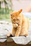 Ginger Cat Stock Afbeelding