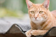 Ginger Cat Stock Afbeeldingen