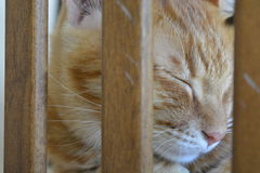Ginger Cat Immagini Stock
