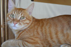 Ginger Cat Lizenzfreie Stockfotos
