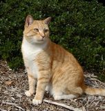Ginger cat. Ginger colored cat, sitting in a garden Royalty Free Stock Photos