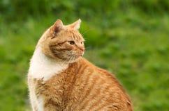 Ginger Cat Foto de archivo libre de regalías