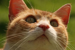 Ginger cat. A ginger and white cat Royalty Free Stock Photography