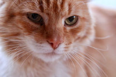 Ginger Cat Fotografie Stock