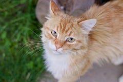 Ginger Cat Fotografia Stock Libera da Diritti