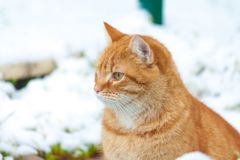 GINGER CAT ADULTO FORA NA NEVE Imagem de Stock Royalty Free