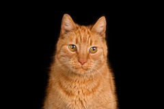 Ginger cat against a black background Royalty Free Stock Photography