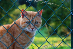 Ginger Cat. Beautiful ginger cat is sitting behind a fence Stock Images