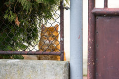 Ginger cat behind a fence Stock Image