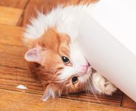 Ginger cat biting roll of drawing paper. Adult ginger cat biting roll of white drawing home paper like pretty toy stock photos