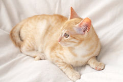 Ginger cat on blanket Stock Photo