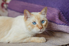 Ginger cat with blue eyes Stock Photo