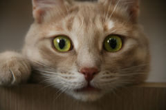 Ginger cat with bright eyes looking from above Royalty Free Stock Photography