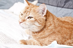 Ginger cat with broken leg Royalty Free Stock Image