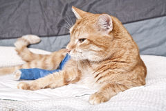 Ginger cat with broken leg Stock Photography