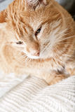 Ginger cat with broken leg Stock Images