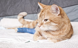 Ginger cat with broken leg Royalty Free Stock Photos