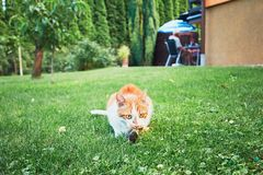Ginger cat catch a bird. On the garden of the family house Royalty Free Stock Photos