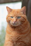 Ginger Cat. Close-Up of a Domestic Ginger Tomcat (Felis catus Royalty Free Stock Image