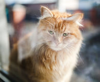 Ginger cat Royalty Free Stock Images