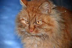 Ginger cat close up in snow Stock Images
