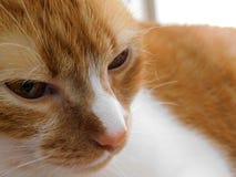 Ginger Cat Closeup View stock foto