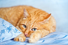 Ginger Cat comfortably lies in a blue fabric linen Stock Photography