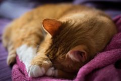 Ginger Cat de sommeil adorable Image stock